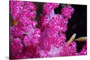 A Bright Pink Colony of Carnation Coral Harbors Small Fish by Jason Edwards