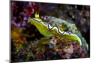 A Bright Yellow Nudibranch Crawls across a Colorful Coral Reef by Jason Edwards