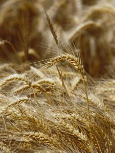 A Close View of a Wheat Plant by Jason Edwards