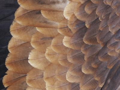 A Close View of the Wing Feathers of a Wedge-Tailed Eagle