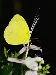 A Common Grass Yellow Butterfly Feeds on a Flower by Jason Edwards