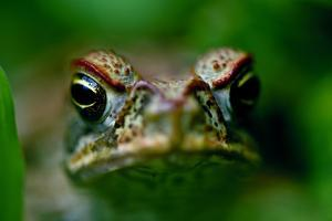 A Giant Neotropical Toad Peers Between the Foliage with a Warty Face by Jason Edwards
