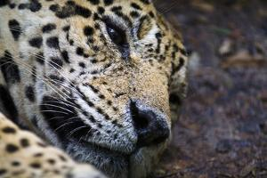 A Jaguar Dozing During the Midday Heat in the Amazon Basin by Jason Edwards