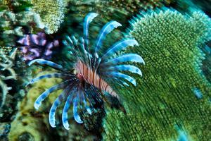 A Lionfish Swims across a Coral Reef with it's Venomous Fins Extended by Jason Edwards