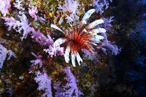 A Lionfish with Venomous Spines Swimming Vertically Up a Coral Wall by Jason Edwards