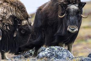 A Male Musk Ox Scenting a Female to See If She Is in Oestrus for Mating by Jason Edwards