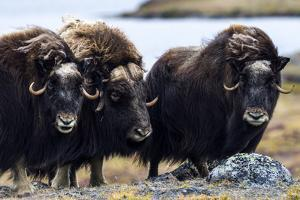 A Musk Ox Herd Standing on the Windswept Tundra by Jason Edwards