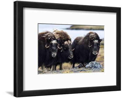 A Musk Ox Herd Standing on the Windswept Tundra