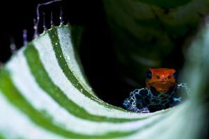 A New Color Morph of the Amazon Dart Frog Makes its Home in a Bromeliad Where it also Breeds by Jason Edwards