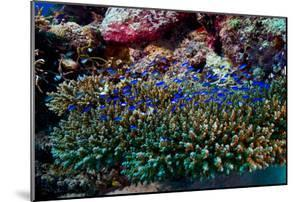 A Nursery of Damselfish and Chromis Shelter in a Staghorn Coral by Jason Edwards