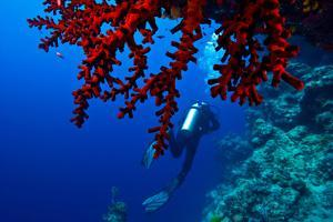 A Scuba Diver Swims Past a Bright Red Sea Fan on a Coral Reef Wall by Jason Edwards
