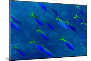 A Shoal of Yellow Fusilier Fish Swim in Unison Down a Coral Reef Wall by Jason Edwards
