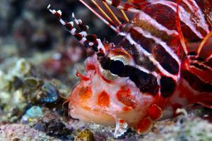 A Venomous Spotfin Lionfish Displays its Vivid Red Stripes and Spines by Jason Edwards