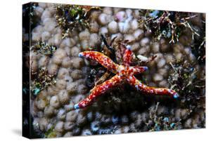A Vivid Red Spotted Linckia Sea Star Perched Atop a Coral Reef by Jason Edwards