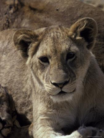 Adorable African Lion Cub Stares into the Camera, Curious and Alert by Jason Edwards