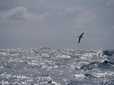 Albatross in Flight over Sunlit Ocean