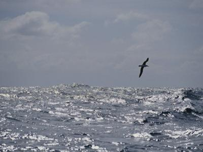 Albatross in Flight over Sunlit Ocean by Jason Edwards