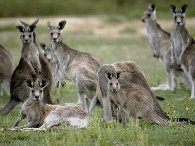 Alert Mob of Eastern Grey Kangaroos Standing and Lying Down, Australia