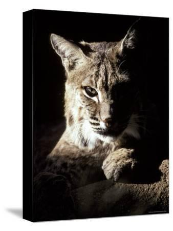 Bobcat Sitting in a Ray of Sun, Relaxed with a Predator's Stare