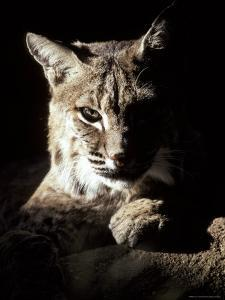 Bobcat Sitting in a Ray of Sun, Relaxed with a Predator's Stare by Jason Edwards