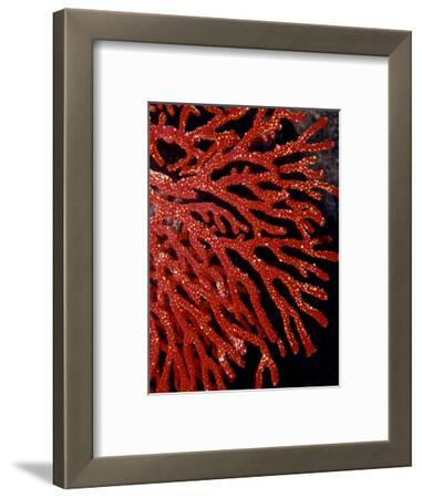 Bright Red Gorgonian Soft Coral Flares from a Sub-Tropical Reef, Australia