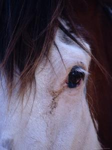 Close-Up View of a Clydesdale Horse's Eye and Mane Hair, Australia by Jason Edwards