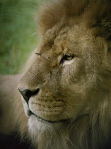 Close View of a Lion by Jason Edwards