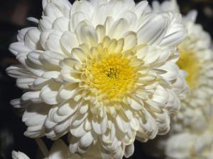 Closeup of a Chrysanthemum Flower and Petals, North Carlton, Australia by Jason Edwards