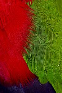 Detail of the Colorful Breast and Wing Feathers of a Collared Lory by Jason Edwards