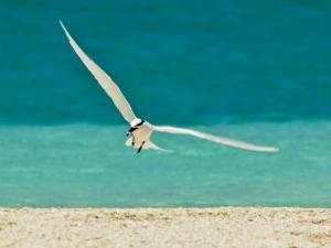 Elegant Black-Naped Tern Glides in to Land on a Beach with a Fish by Jason Edwards