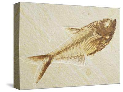 Fish Fossil, Diplomystus Dentatus, from the Eocene Period, Australia