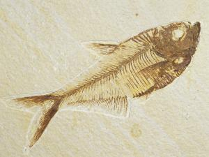 Fish Fossil, Diplomystus Dentatus, from the Eocene Period, Australia by Jason Edwards
