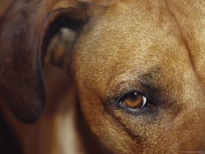 Floopy Ear and Watchful Stare of a Rhodesian Ridgeback Dog, North Carlton, Australia by Jason Edwards
