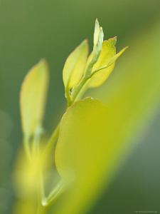 Fresh New Buds and Shoots of Mountain Swamp Gum Eucalypt Tree, Yellingbo Nature Reserve, Australia by Jason Edwards