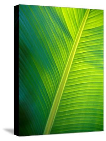 Iridescent Green Textured Ribs and Veins of a Backlit Banana Leaf