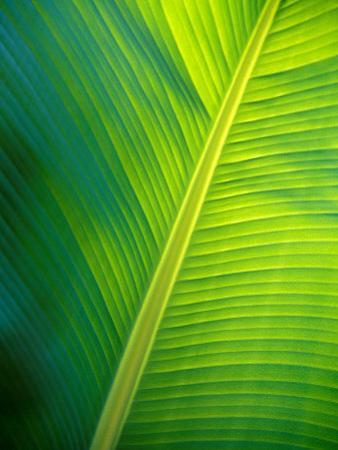 Iridescent Green Textured Ribs and Veins of a Backlit Banana Leaf by Jason Edwards