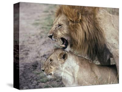 Lions Mating in the Masai Mara National Park, Kenya