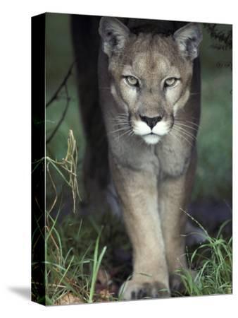Mesmerising Glare of a Stalking Puma Hunting Prey, Australia