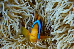 Orange-Finned Anemonefish Shelters in an Anemone's Stinging Tentacles by Jason Edwards