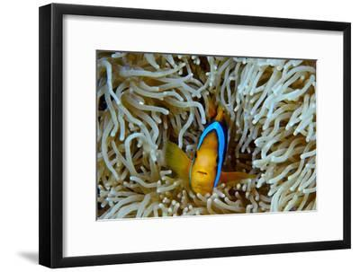 Orange-Finned Anemonefish Shelters in an Anemone's Stinging Tentacles