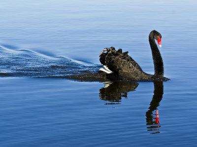 Proud and Elegant Black Swan Parades across an Inlet at Dawn