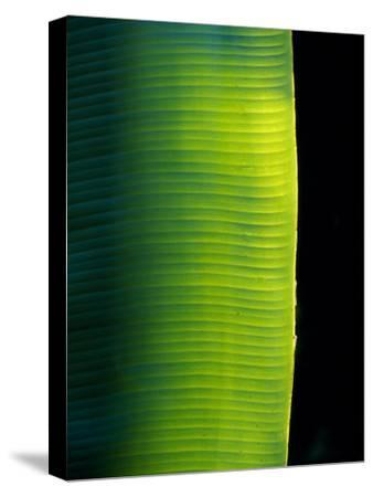 Ray of Sunshine Pierces the Darkness and Illuminate a Banana Leaf, Julatten, Queensland, Australia