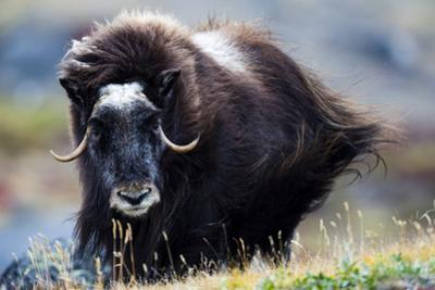 Strong Arctic Winds Send the Shaggy Coat of a Musk Ox Flying by Jason Edwards
