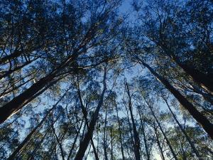 Sunlight Falling Through the Mountain Ash Eucalypt Forest Canopy, Alpine Nationals Park, Australia by Jason Edwards
