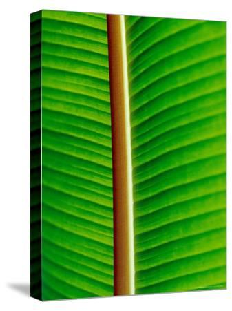 The Blacklit Veins of a Banana Leaf, Genus Musa, Family Musaceae