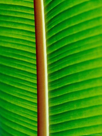 The Blacklit Veins of a Banana Leaf, Genus Musa, Family Musaceae by Jason Edwards