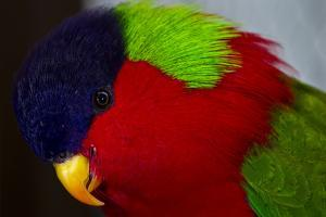The Colorful Head Feathers of a Collared Lory, Phigys Solitarius by Jason Edwards