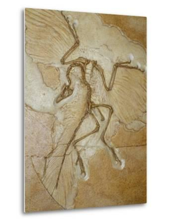 The Earliest Bird, Archaeopteryx, Fossil Skeleton with Feathers by Jason Edwards
