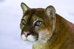 The Inquisitive Yet Serene Stare of a Mountain Lion with Lime Green Eyes by Jason Edwards