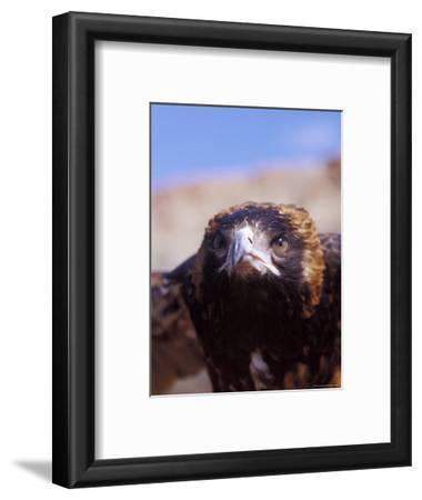 The Intense Glare of a Black Breasted Buzzard, Australia